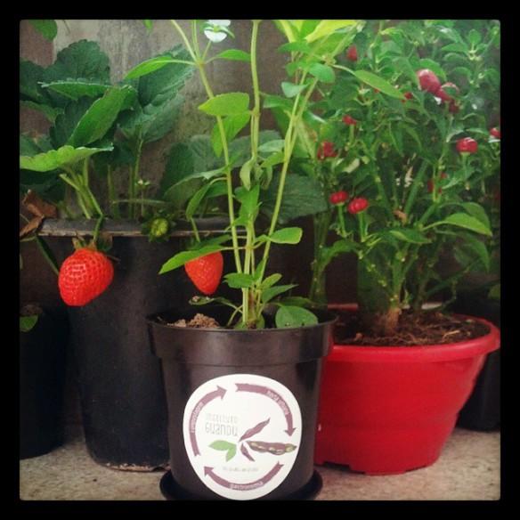 Horta de Apartamento com majericão orgânico do Instituto Guandu