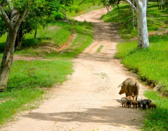 Porcos felizes são mais saborosos! Foto: Fazendo Sto Antonio Agua Limpa