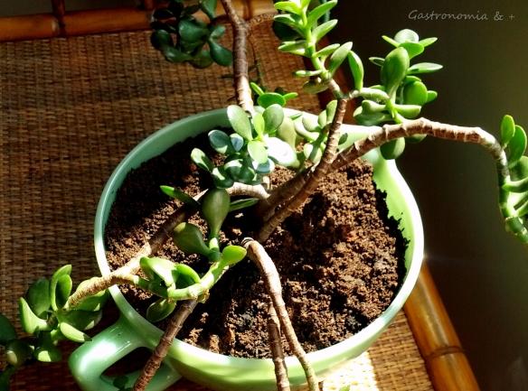 Uma planta que significa muito para mim!