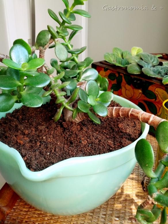 A nova suculenta já ocupando lugar de destaque na mesinha das plantas. :)