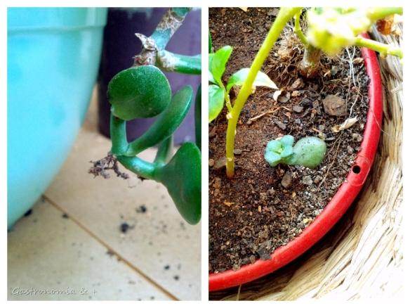 A danadinha já estava pulando a cerca... Criou raízes e brotou no vaso vizinho!